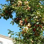 ピョートル大帝の夏の宮殿の庭には林檎が実をつけていました。     ・宮殿に赤白林檎たわわなる(和良)