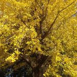 地蔵寺の大銀杏は台風の影響もなく綺麗に黄葉していました。 ・大銀杏傷一つなく黄に染まり(和良)