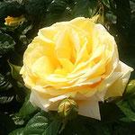 藍住町の薔薇園でミケランジェロという薔薇を見ました。        ・ミケランジェロなるは黄色き八重の薔薇(和良)