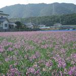 鳴門市の大毛島で見た辣韮の花です。遠くほど綺麗な紫色でした。  ・紀の国も淡路も見えて花辣韮(和良)