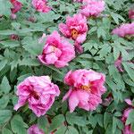 鳴門市観音寺には150種380株の牡丹があり、咲き始めていました。    ・雨の日の牡丹いよいよ艶やかに(和良)