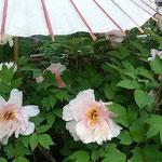 上野東照宮の牡丹には日除けの和傘が差しかけられていました。     ・牡丹には日除けの和傘よく似合ふ(和良)