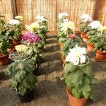 吉野川市鴨島町の菊人形展と菊花展で龍馬という菊に出合いました。 ・龍馬なる菊のわづかに身を反らし(和良)