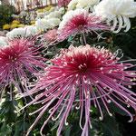 満開に咲いた大輪の菊には圧倒されるほどの迫力がありました。       ・大輪の菊の咲き満つ艶やかさ(和良)