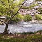 新宿御苑の小さな水溜りで見た花筏は真っ白でした。            ・御苑かな純白なりし花筏(和良)