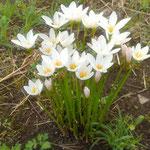玉簾の白い花は今年もこの時期にこの場所に咲いていました。 ・知らぬ間にいつもこの場所玉簾(和良)