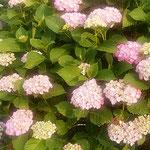 農家のお屋敷には球形の紫陽花が並んでいました。  ・球形の紫陽花並ぶお屋敷に(和良)
