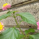 我が家の玄関に6月に挿木したランタナが花をつけました。  ・挿木せしランタナの花咲ける秋(和良)