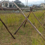 石井町で古代米が栽培されていました。稲架が用意されていました。 ・古代米実り稲架まで用意され(和良)