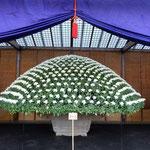 新宿御苑の大作り花壇の菊は一本の根から500を越える花をつけています。・一本の根より五百の菊の花(和良)