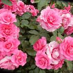 藍住町の薔薇園では毎年、春と秋に薔薇祭をしています。        ・赤といふ色の多彩さ薔薇の花(和良)