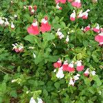 ロベリアの花は生垣のようになって咲き満ちていました。  ・ロベリアの垣根のやうに咲き満ちて(和良)