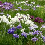 東御苑の菖蒲園ではすでに九分先の花菖蒲もありました。        ・九分咲いて盛りなりけり花菖蒲(和良)