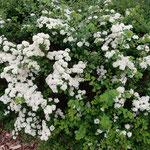 クトナーホラの大聖堂前の花壇に小手鞠の花が咲いていました。    ・小手鞠の白を仕上げてゆきし雨(和良)