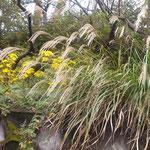眉山山頂はどこを歩いても石蕗の花が咲いていました。  ・そこらぢゅう眉山山頂石蕗の花(和良)