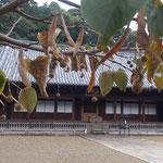 徳島市の丈六寺では鈴生りになっている菩提子を見つけました。  ・菩提子の舞ひながら落つ寺静か(和良)