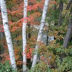 上高地からのバスは沢渡で下車。紅葉の木々越しに梓川が見えました。                      ・色彩の限りを尽くす紅葉かな(和良)