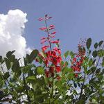 吟行の折、徳島市立動物園で見た海紅豆です。紅が綺麗でした。 ・空の青雲の白さや海紅豆 (和良)