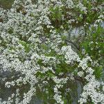 桜並木の続く岸辺には桜と競うように雪柳が花をつけていました。              ・競ひ咲き桜堤の雪柳(和良)