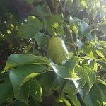 徳島市中央公園の郁子の実は蔓を辿ると五つも六つもありました。 ・蔓伝ひ見れば郁子の実五つ六つ(和良)