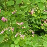 東御苑の二の丸庭園には早くも萩の花が咲いていました。        ・六月に萩の花咲く御苑かな(和良)