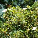 文化の森の裏山には大きな泰山木が大きな花をつけていました。 ・花も葉も光り泰山木の立つ(和良)