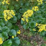 皇居東御苑の松の廊下があった周辺に石蕗の花が咲き残っていました。  ・一隅に咲き残りゐし石蕗の花(和良)