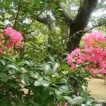 吉野川市鴨島町の江川・鴨島公園には百日紅が咲いていました。 ・緑濃き水の公園百日紅(和良)