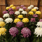 12種類の菊で3色を配列し前方より次第に高く丈を揃えて鉢を並べます。    ・丈揃へ開花も揃へ菊花展(和良)