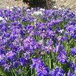 徳島市の阿波史跡公園には菖蒲園がありました。                ・紫は影を作らず花菖蒲(和良)