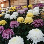 幔幕を張った吉野川市市役所前の菊花展は品よく美しかったです。    ・紫の幔幕張りて菊花展(和良)
