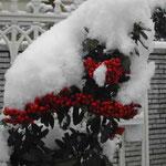 八王子市の朝、玄関にもこんなに雪が積もっていました。 ・ピラカンサ赤の極まる今朝の雪 (和良)