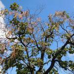 徳島市の丈六寺の木豇豆の大木です。実を一杯つけていました。                          ・秋空に木豇豆の実の翻る(和良)