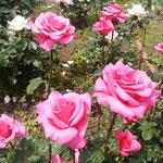 薔薇が好きだったマリーアントワネットを思い出しました。           ・赤い薔薇マリーアントワネットふと(和良)