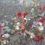 徳島城公園の薔薇園では薔薇の赤い目が一斉に出ていました。        ・薔薇の芽の赤に違ひのなかりけり(和良)