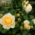 藍住町の薔薇園では薔薇の香りを楽しんでいる人たちもいました。    ・香の強き薔薇の周りに人の垣(和良)