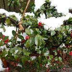 主計町の路地端に寒椿の植え込みがあり、雪に埋もれていました。    ・路地端に雪に埋もれし寒椿(和良)