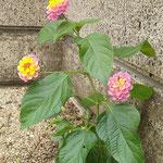 台風の暴風雨にも耐えてきた小さなランタナの花なのです。  ・台風にめげず咲きゐる小さき花(和良)