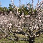 吉野川市鴨島町森籐でみた満開の梅です。目白や虻が群れていました。  ・梅盛り目白も虻も多忙なる(和良)