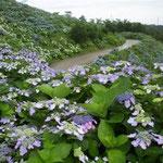徳島県佐那河内村の大川原高原では3万株の紫陽花が咲き競っていました。  ・濃紫陽花三万株の丘に立つ(和良)
