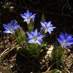 六甲山高山植物園の日溜りで春竜胆を見つけました。綺麗な紺でした。  ・日溜りに春竜胆の小さき紺(和良)