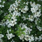 皇居東御苑では花茨が咲き競っていました。昔のままの香りでした。  ・花茨昔むかしの香りかな(和良)