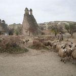 カッパドキアで見た放牧の羊です。時雨の中を家路に着いていました。  ・帰途に着く羊の群れに夕時雨 (和良)