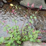 海野宿の街道には真ん中にきれいな水の流れる用水がありました。    ・用水の水清らかに赤のまま(和良)
