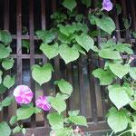 妻籠宿では家毎に季節の花を咲かせていました。                                   ・格子まで朝顔咲かせ妻籠宿(和良)