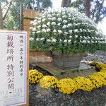 新宿御苑で明治150年を記念して菊栽培所の特別公開がありました。    ・明治百五十年菊栽培所初公開(和良)