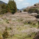 神山町の阿川梅まつりに行きました。もう散り始めていました。 ・谷越えて山越えて行く梅まつり(和良)