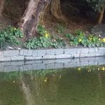 石蕗の花は水辺にも明るい影を映していました。              ・石蕗の花水面の影も明るかり(和良)