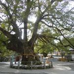 大麻比古神社には樹齢1000年を超す樟の大樹がありました。                            ・千年の樟にやさしき冬日かな(和良)