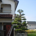 我が家の松手入です。今年も庭師が朝早くから来てくれました。                           ・大小と脚立を換へて松手入(和良)